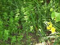 Oregano and day lilies